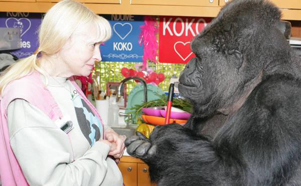 Nine Of The Best Koko The Gorilla Videos Kqed