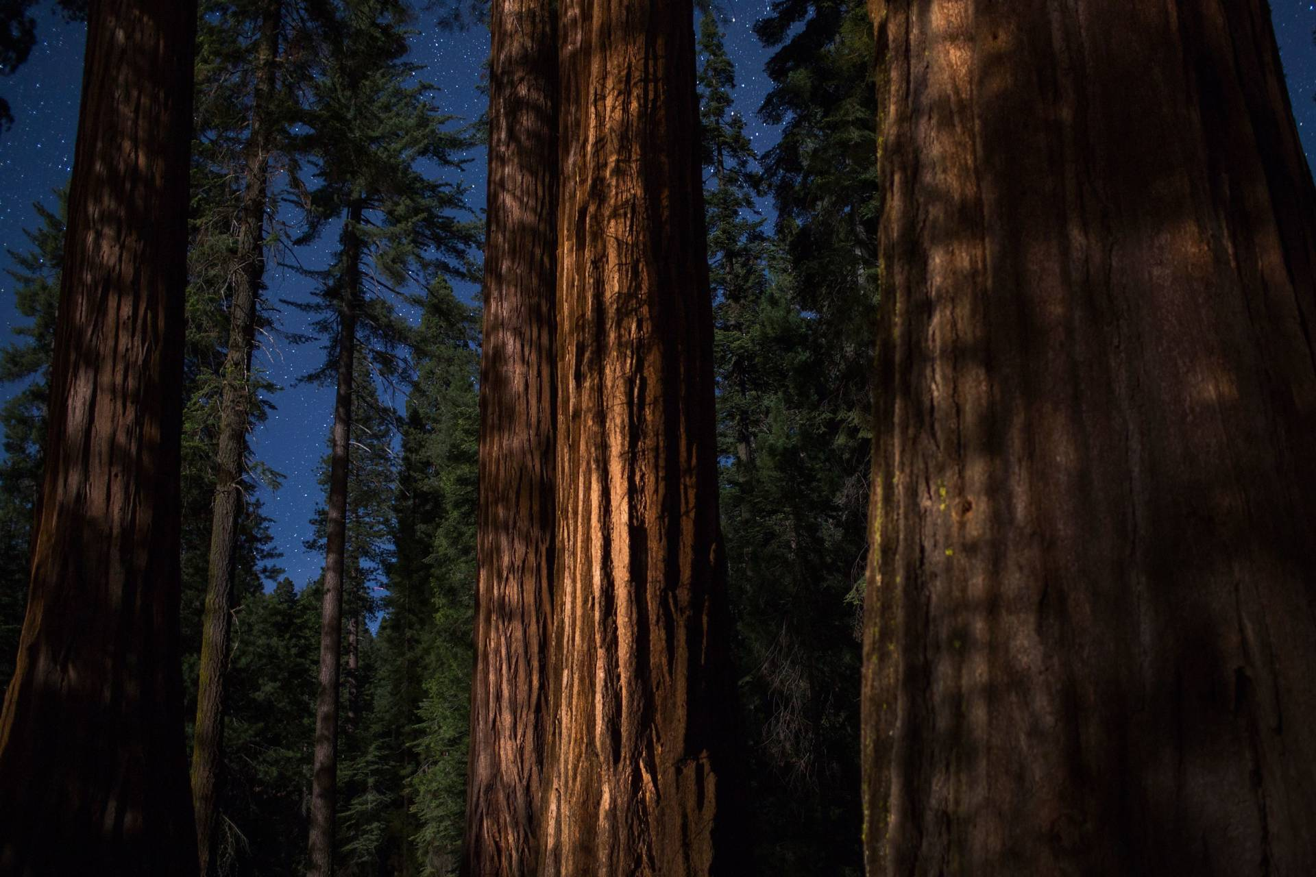Sequoia trees under a starry sky in the Mariposa Grove of Giant Sequoias on May 21, 2018 in Yosemite National Park. The grove reopened recently after a three-year renovation project to better protect the trees that can live more than 3,000 years.  DAVID MCNEW/AFP/Getty Images