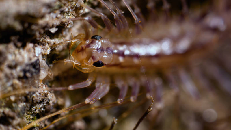 the house centipede is fast furious and hella leggy deep look