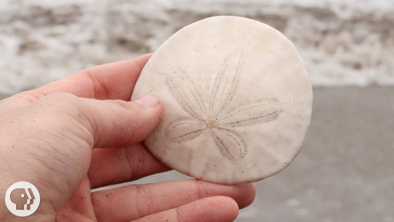 A Sand Dollar's Breakfast Is Totally Metal