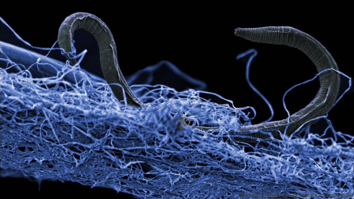 A nematode (commonly called a worm) in a mat of microorganisms. This creature was found nearly a mile below the Earth's surface in a gold mine in South Africa. Gaetan Borgonie