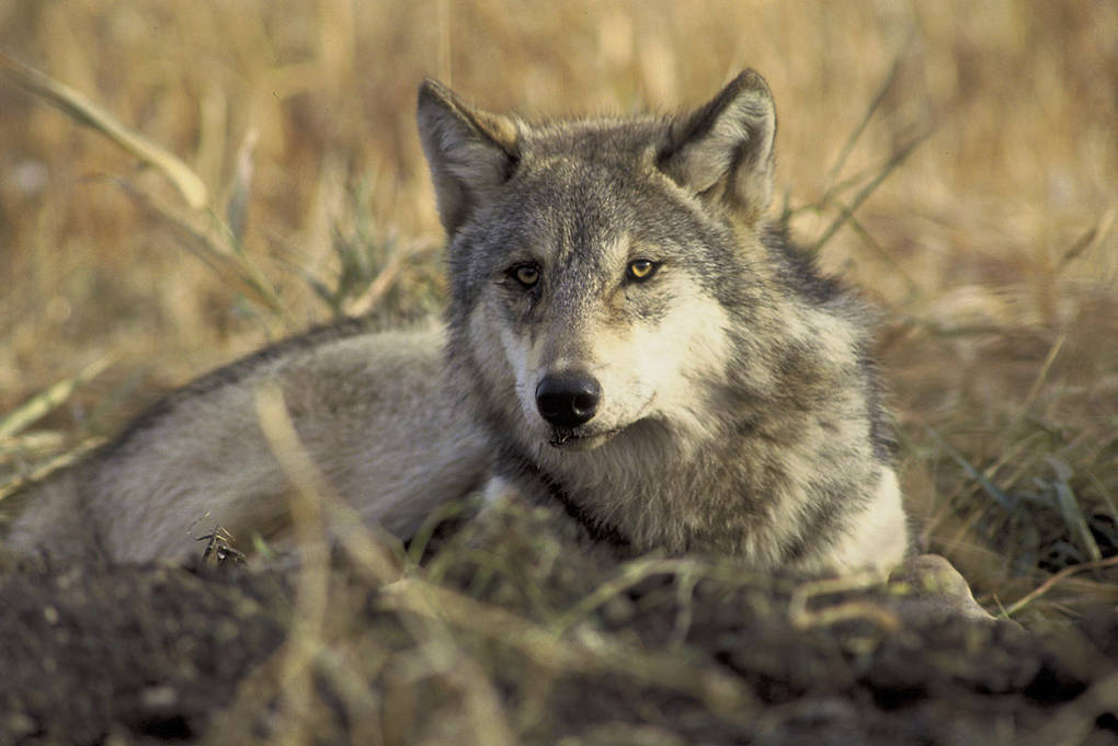 A San Diego judge upheld protection for gray wolves under California's Endangered Species Act. John & Karen Hollingsworth/USFWS