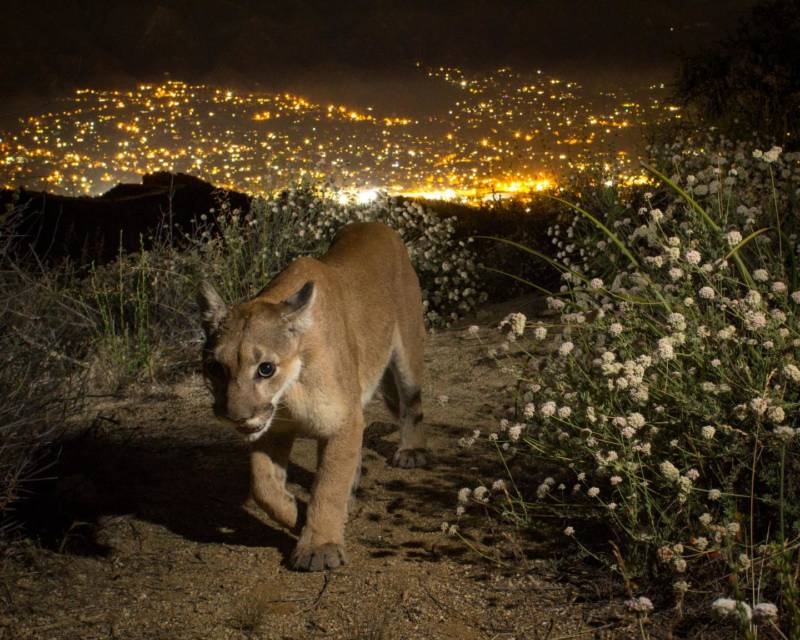 Southern California Mountain Lions Face Local Extinction