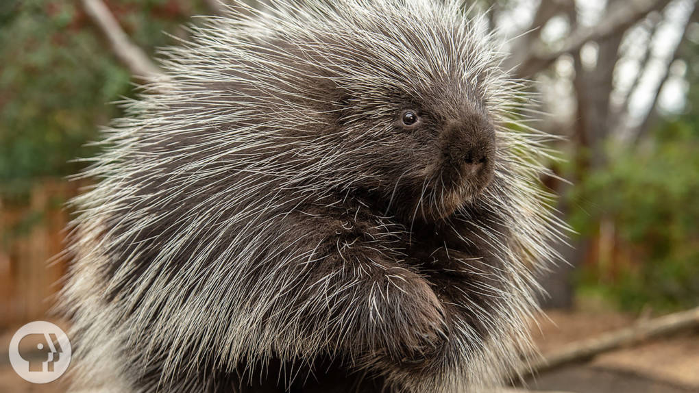 Porcupines Give You 30,000 Reasons to Back Off