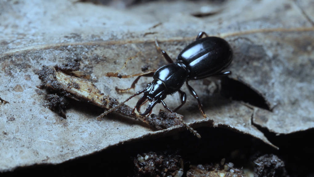 Promecognathus crassus, a ground beetle common in the Bay Area.