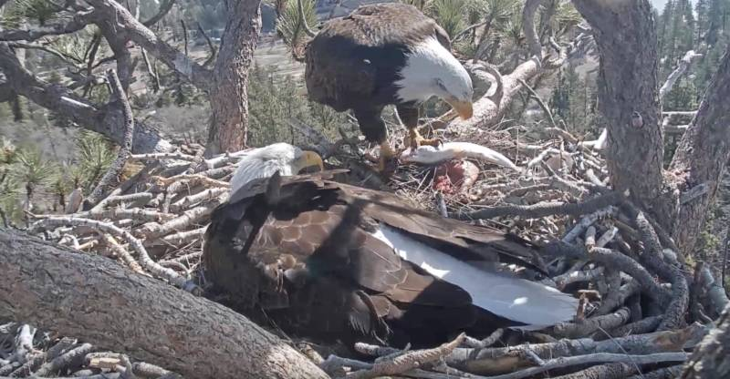 Live: Two Bald Eagles Hatched in Nest in California