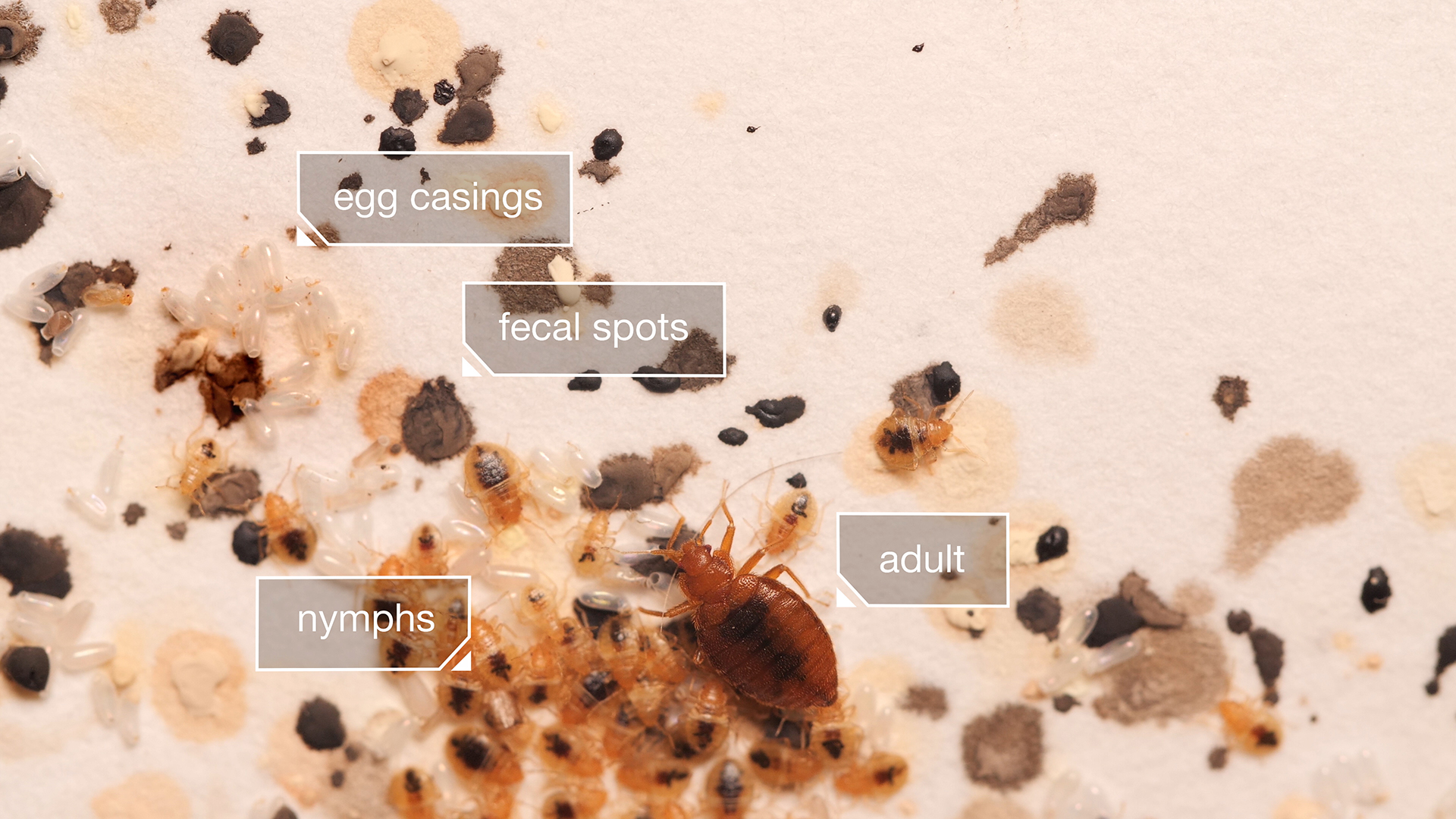 Watch Bed Bugs Get Stopped In Their Tracks Kqed