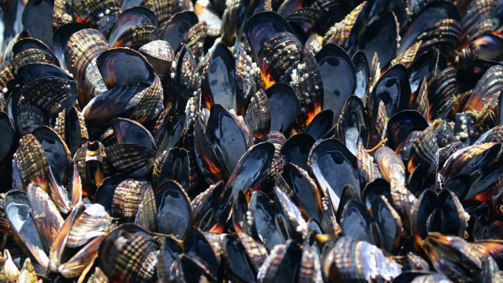 Interview: Researcher on Bodega Bay Mussel Die-Off