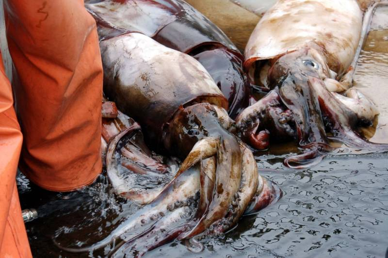 Jumbo Squid Are Missing From Monterey Bay. Will They Ever Return?