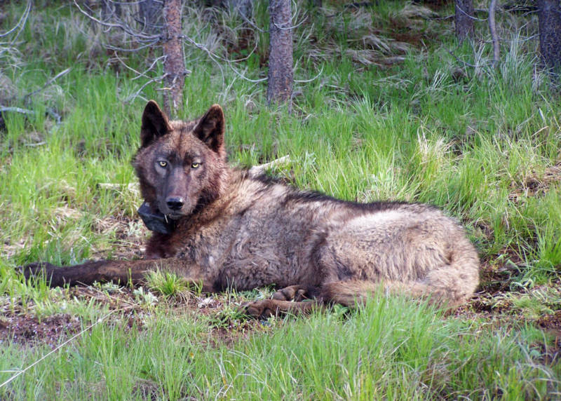 California Defends Wolves, Argues Against Feds Removing Protections