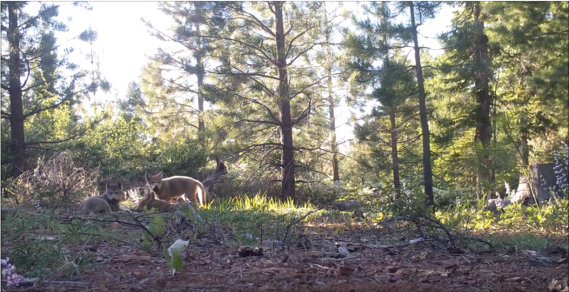 VIDEO: Three New Wolf Pups Sighted in Northeast California