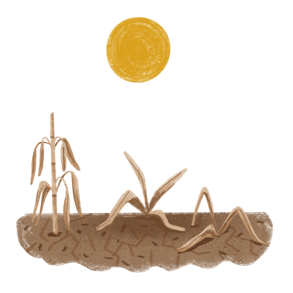 Art showing corn plants growing in dry soil, withering under an orange sun.