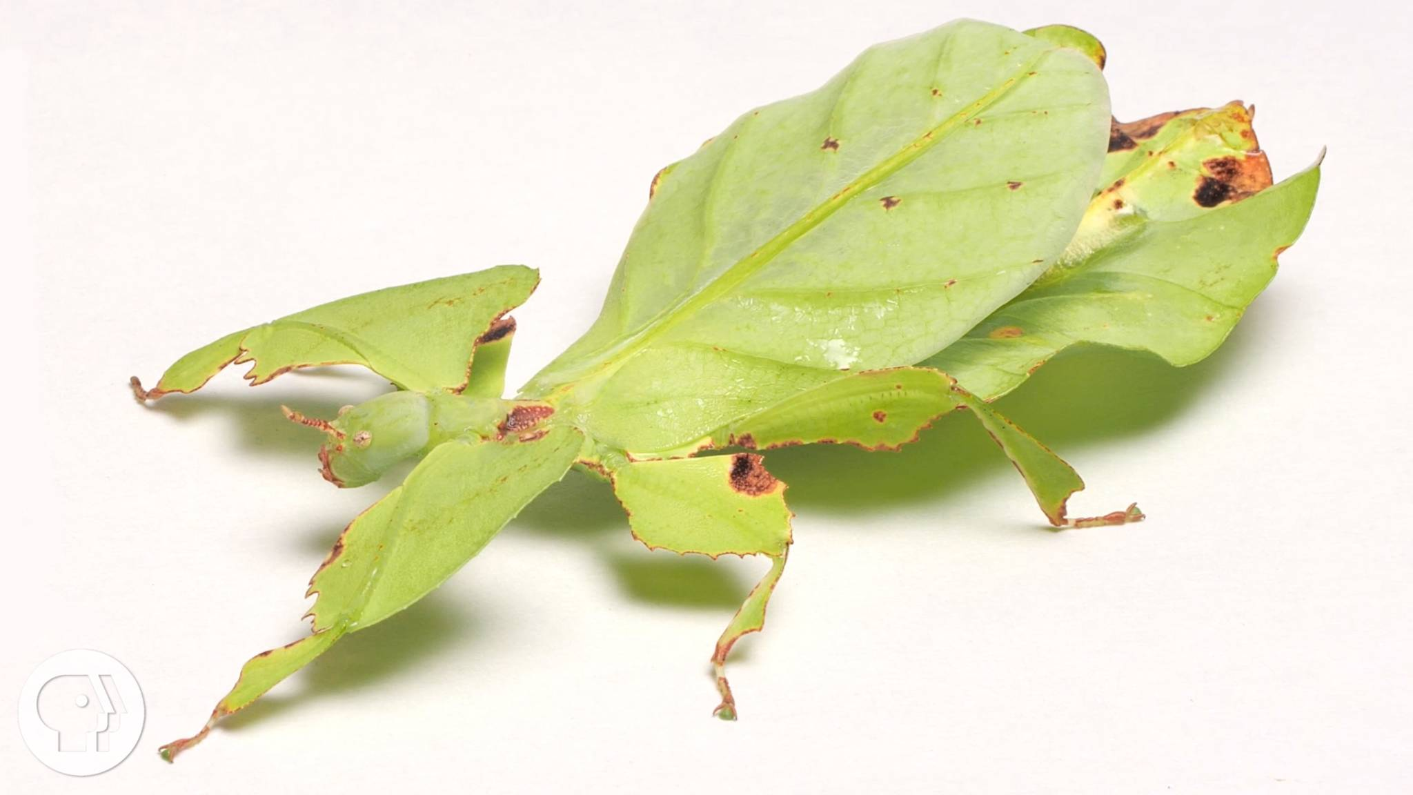 These Giant Leaf Insects Will Sway Your Heart