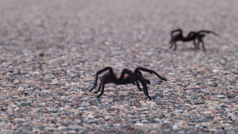 Newly-mature Texas brown tarantulas (Aphonopelma hentzi) cross a rural road in southeastern Colorado, in search of potential mates.