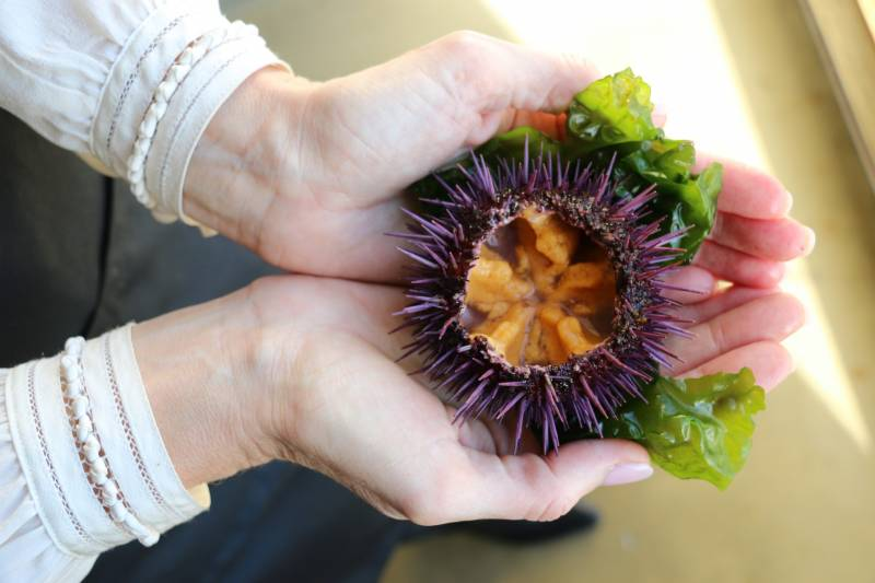 Kelp! They Need Somebody … To Eat Sea Urchins