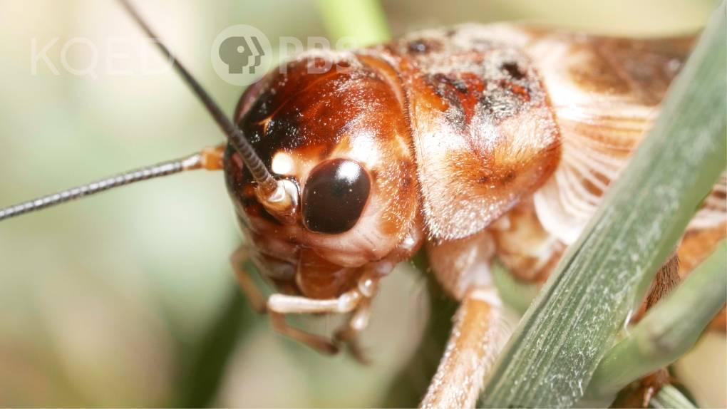 Crickets Chirp to Flirt
