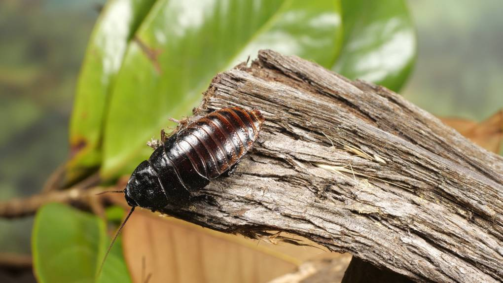Madagascar hissing cockroach