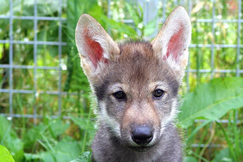 Scientists Shocked by Wolf Puppies Playing Fetch