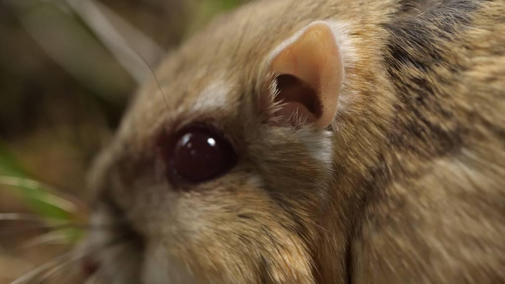 Kangaroo rat hearing is ninety times more sensitive than human hearing.