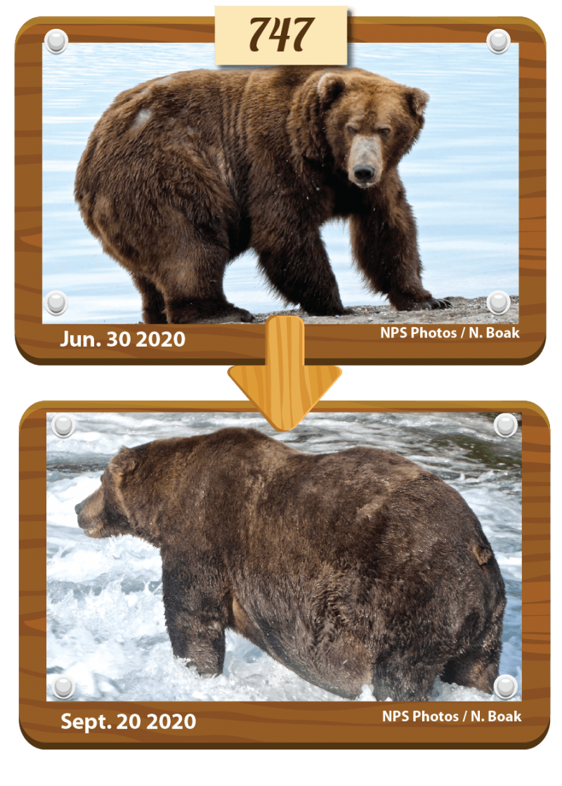 A before and after pair of photos showing brown bears 747 weight gain.