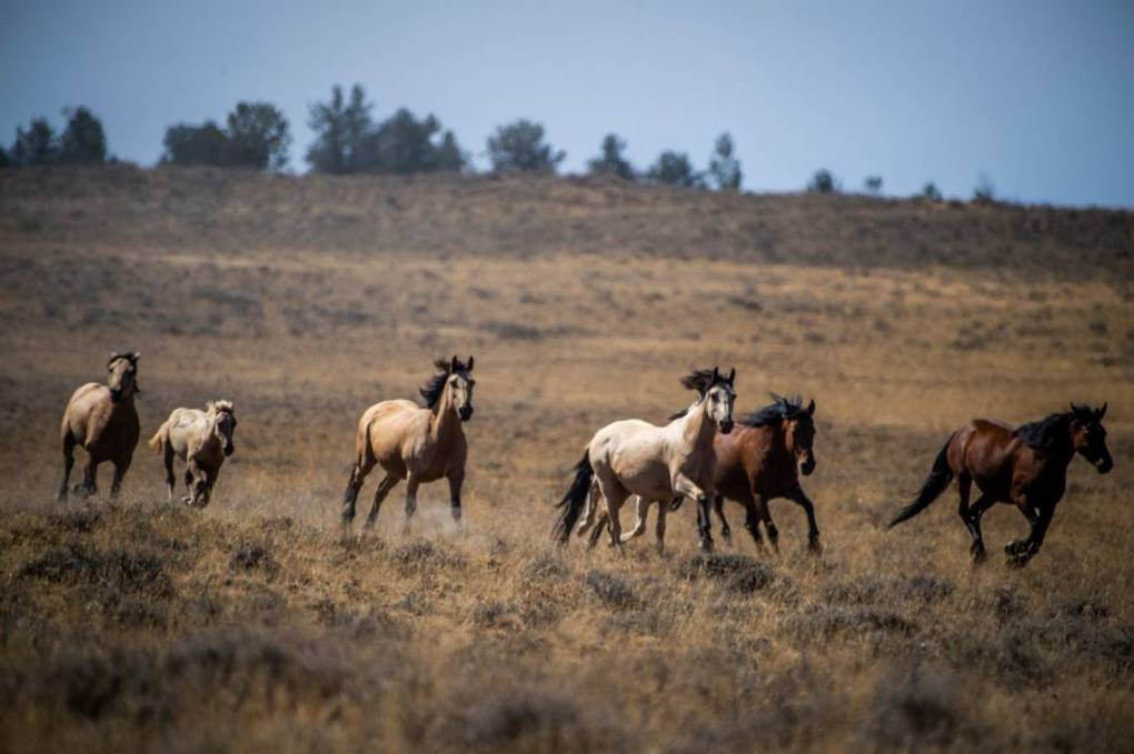 Wild horses are herded up Sept. 10, 2020, in Devil's Garden in the Modoc National Forest.  Daniel Kim/Sacramento Bee (used with permission)