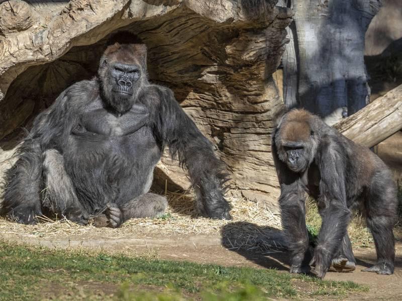 Two gorillas at the San Diego Zoo Safari Park