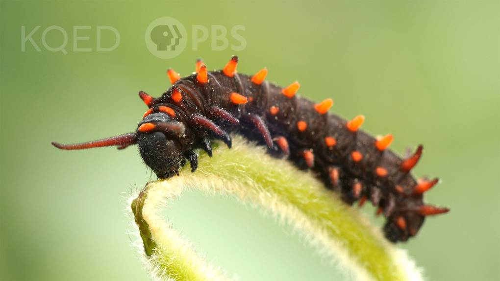 A black and orange spiky caterpillar rests on the top of a stem, eating.