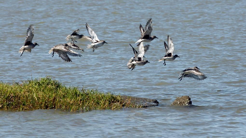 Water birds fly over the Sacramento-San Joaquin River Delta