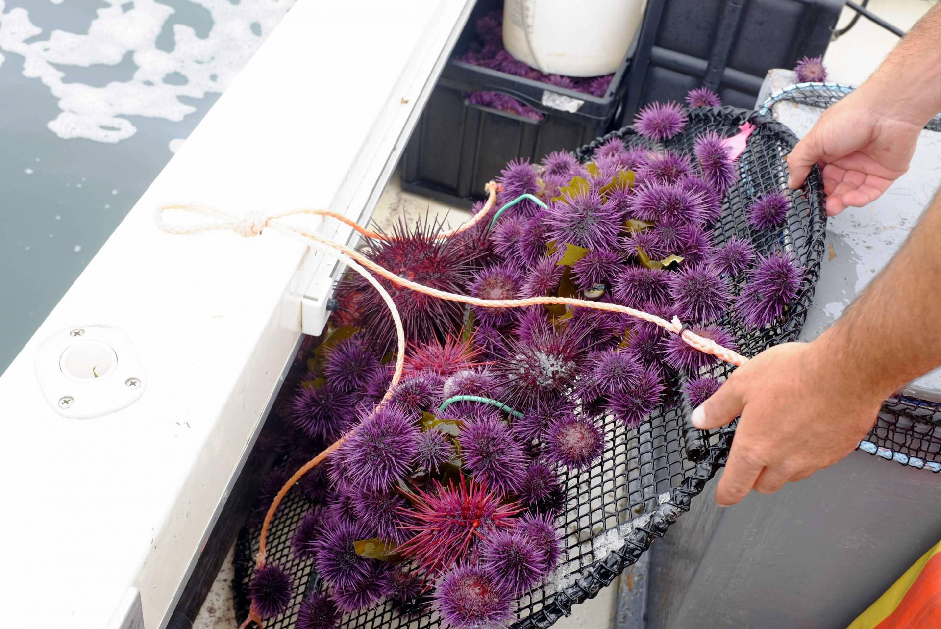 Urchin trapper Grant Downie unloads a mound of sea urchins onto his fishing boat in Mendocino County's Caspar Bay. Peter Arcuni/KQED