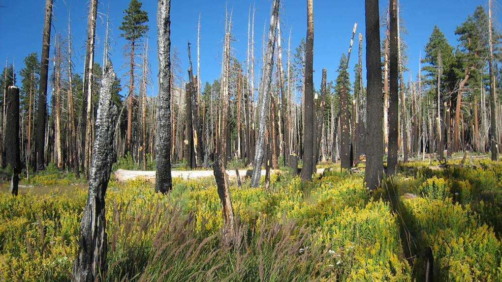 Trees burned light matchsticks rise above a lush meadow filled with different plants.