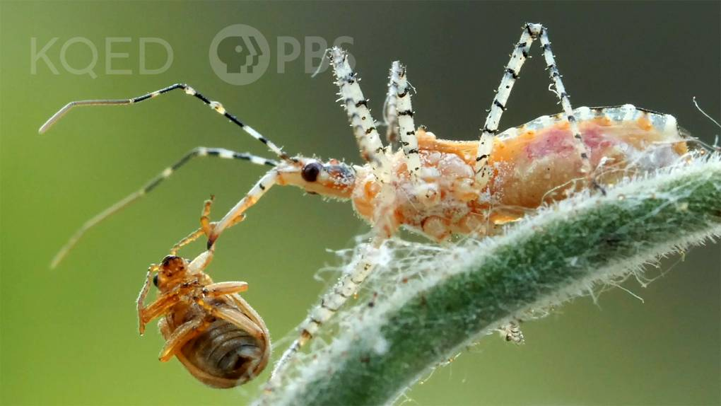 spindly orange and while beetle with a small brown beetle impaled on it's sharp mouthpart