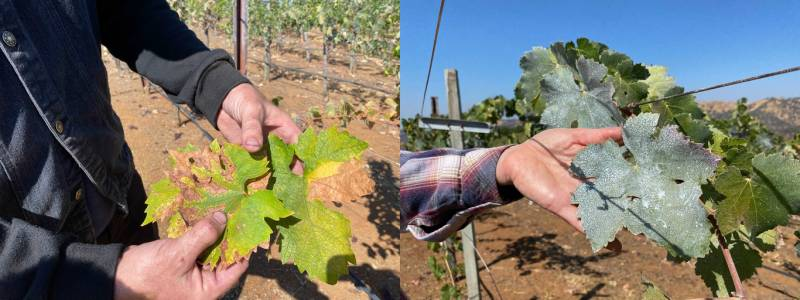 A wine grape grower in Napa County uses a clay spray on grape leaves to protect grapes from the hot temperatures. The liquid clay acts like sunscreen for the leaves lowering the temperature.