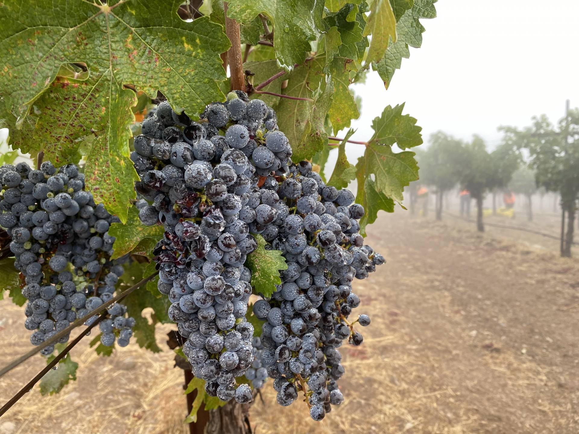 A grapevine in Sonoma County. The grapes are grown without any irrigation water.