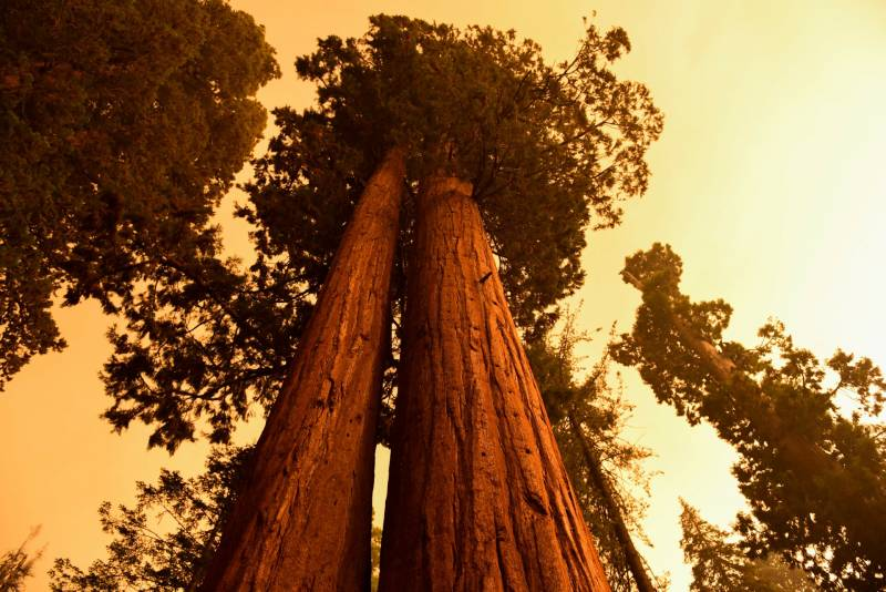Giant sequoia trees stand among smoke filled skies.