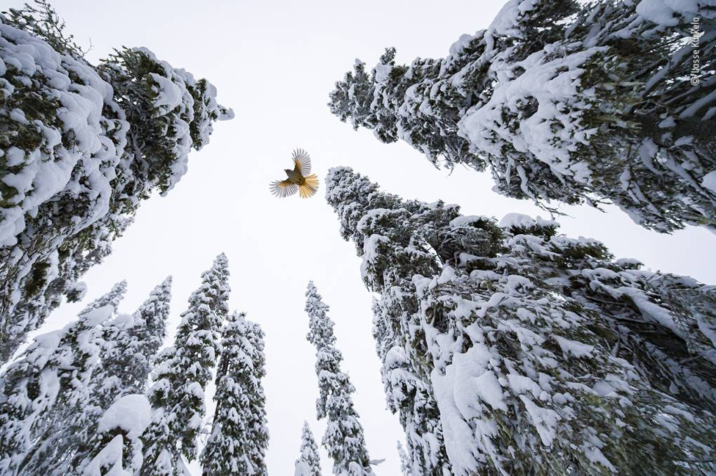 A Siberian jay flying to the top of a snow-covered spruce tree to stash its food.