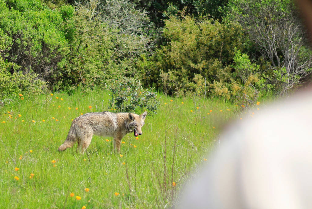 Coyotes in San Francisco's Presidio Are Here to Stay