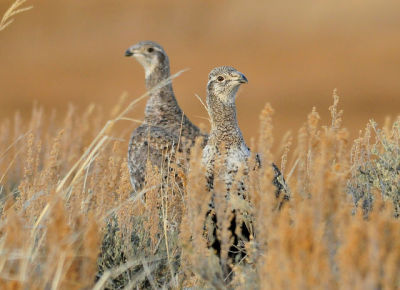 Greater Sage Grouse, Seedskadee National Wildlife Refuge.
