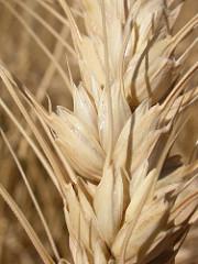 Gluten is a protein found in wheat.