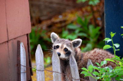 Raccoons have become very successful in living in urban areas.