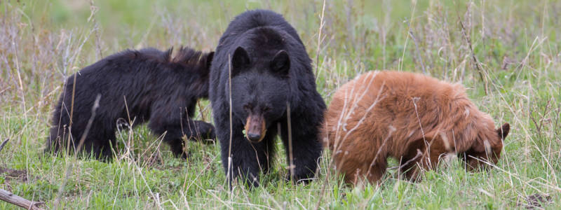 Adult black bear with two cubs