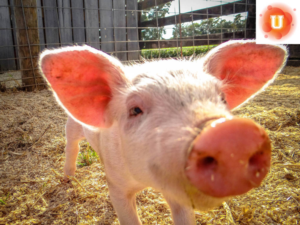 Should Pigs Be Used To Grow Human Organs Lesson Plans Kqed