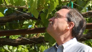 """Pinot Noir is being grown in hot areas of California where it doesn't grow so well,"" said Andrew Walker, professor of viticulture at the University of California, Davis.  He examines a Listán Prieto vine on the UC Davis campus. This wine grape was brought to California by Spaniards and was the first to be planted in the state. (Photo by Joan Johnson Miller/KQED, 2007)."