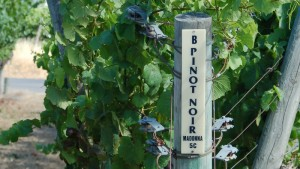 Pinot Noir is a variety that does well in cool climates and is particularly vulnerable to warming temperatures. These vines were planted at Saintsbury Winery, in Napa Valley. (Photo by Joan Johnson Miller/KQED, 2007).