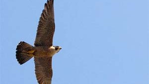 Falcon Fascination Update