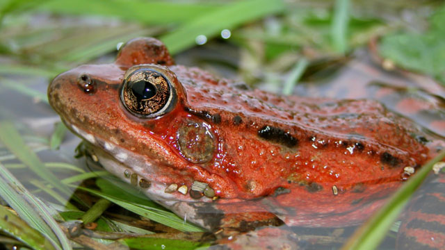 disappearing frogs Frogs, climate, and the  vanishing frogs, climate, and the front page  the cause of disappearing frogs has been reported to be from a variety of.