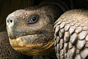 Galapagos Tortoise<