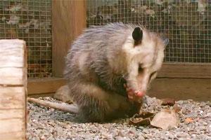 Opossums are marsupials, just like kangaroos.