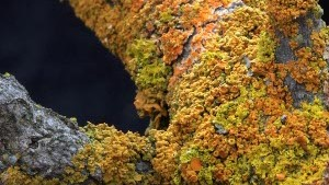 Tiny Lichen Point to Bigger Pollution Problems in Yosemite
