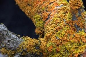 Tiny Lichen Point to Bigger Pollution Problems in Yosemite