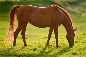 How Nutritious Is Horse? The Other Red Meat